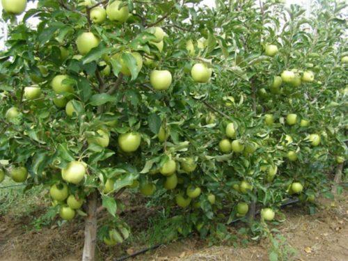 Обрізка карликових яблунь