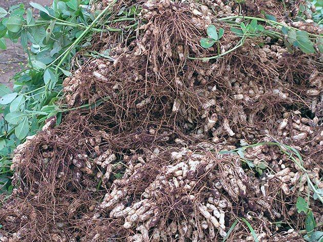 Растение арахис 86