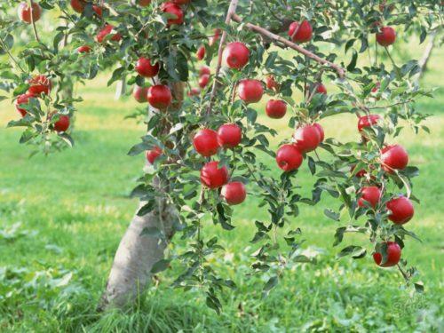 Сорти карликових яблунь