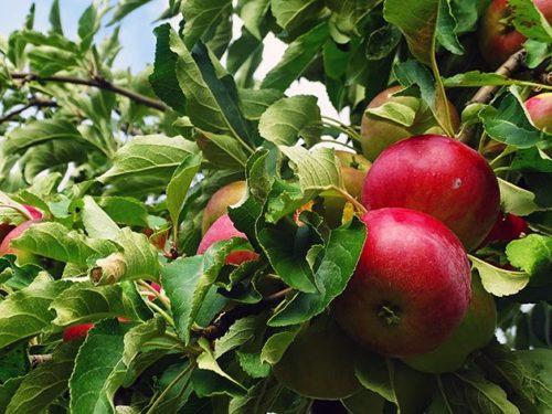 Хвороби і шкідники карликових яблунь