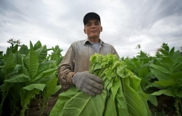 Вирощування тютюну в домашніх умовах