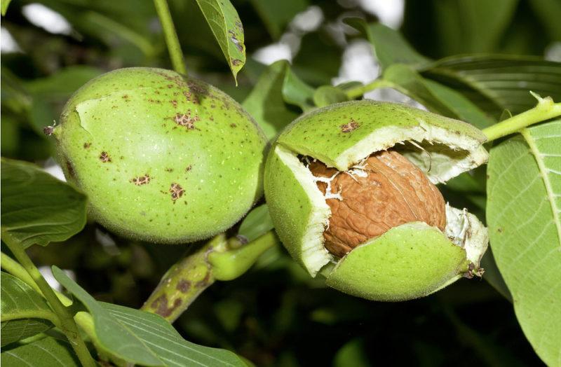 Як посадити і виростити волоський(грецький) горіх