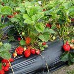 Розсада полуниці в домашніх умовах з насіння: коли садити полуницю на розсаду
