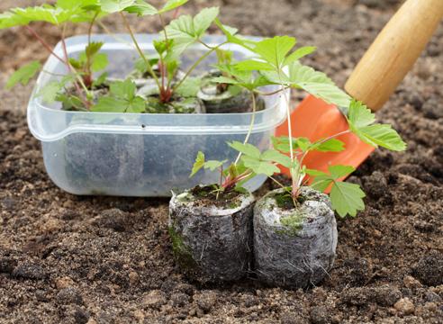 Пікіровка і висадка розсади полуниці вдома