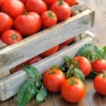 Які сорти томатів для відкритого грунту є найбільш врожайними?