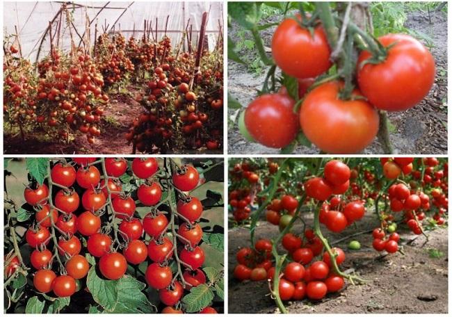 Найбільш врожайні сорти помідор