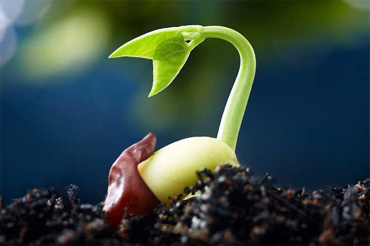 Пророщування насіння: терміни і способи