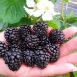 Ожина – найкорисніша і прибуткова ягода: агротехніка і корисні властивості