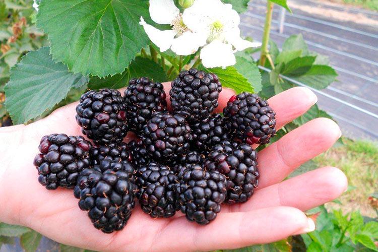 Ожина - найкорисніша і прибуткова ягода