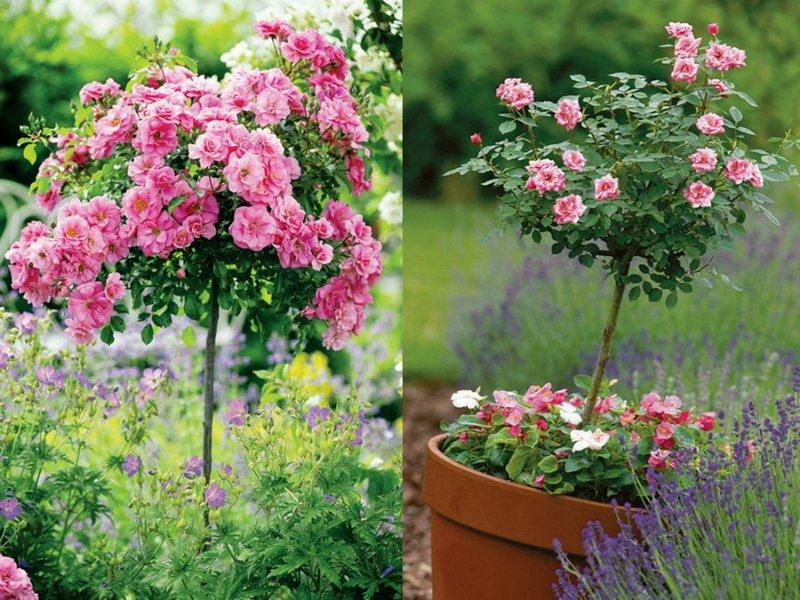 Як посадити штамбову розу