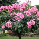 Штамбові троянди: посадка, вирощування, обрізка