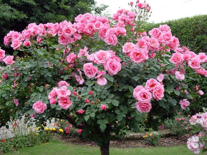 Як вирощувати штамбову розу