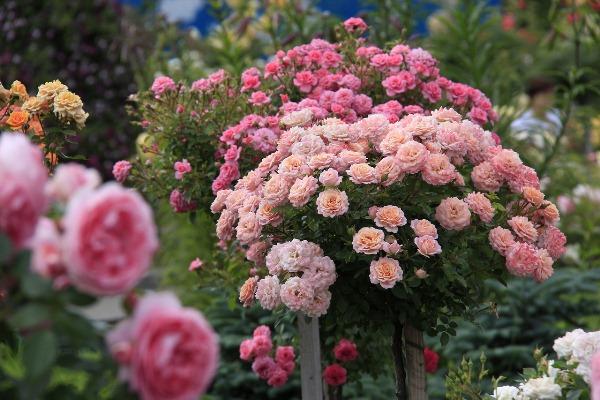 Як доглядати за штамбовою розою