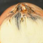Гине цибуля і часник: стеблові нематоди знищують урожай (дітіленхоз)