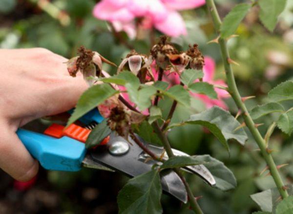Як правильно обрізати кущі троянд навесн