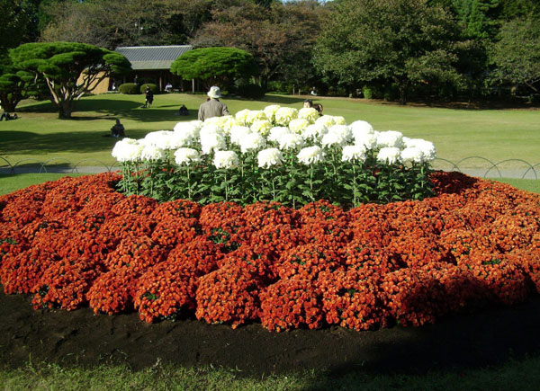 Хризантеми різної висоти