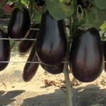 Вирощування баклажанів в домашніх умовах