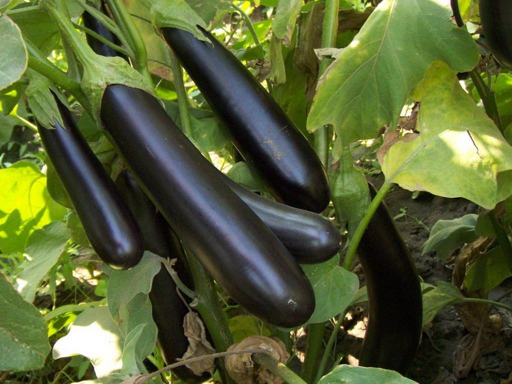 Вирощування баклажанів у відкритому грунті