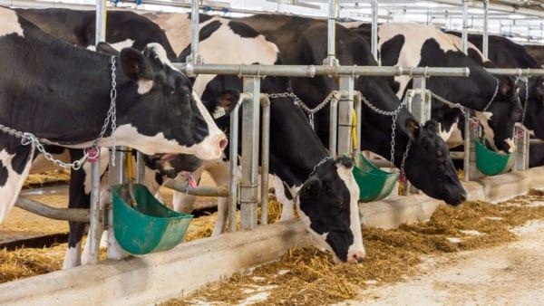 Особливості утримання великої рогатої худоби