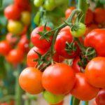 Ранні сорти помідорів – гарантія врожаю