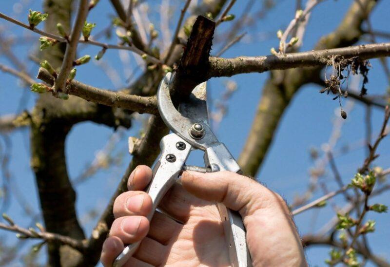 Обрізка плодових дерев в березні