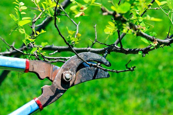Правильний календар обрізки дерев