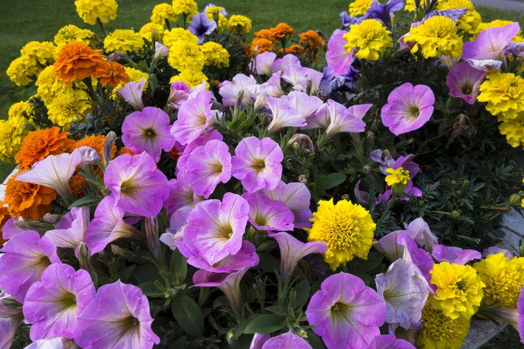 Які багаторічні квіти для дачі цвітуть все літо?