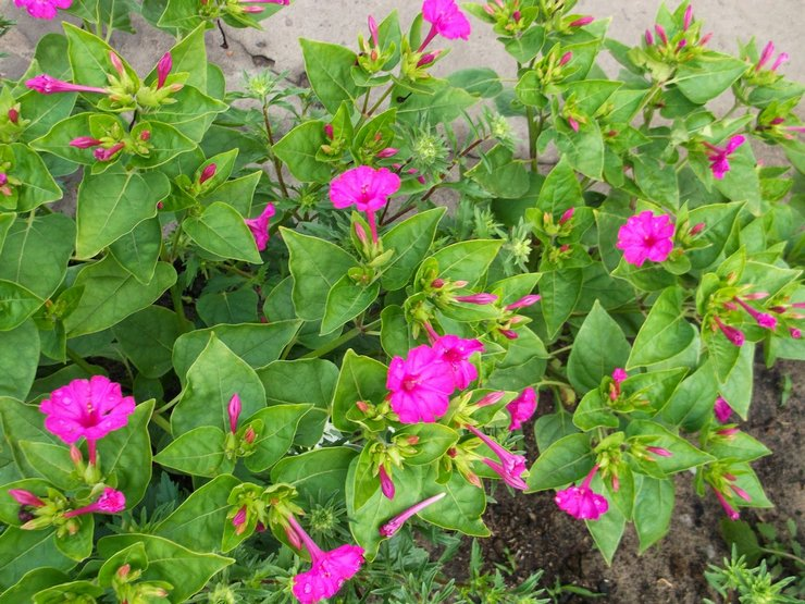 Різновиди і сорти багаторічних квітів