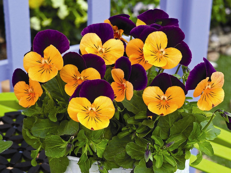 Низькорослі багаторічні квіти