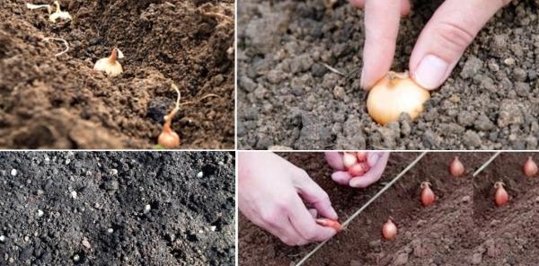 Як правильно посадити цибулю навесні