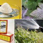 Як обробити содою від борошнистої роси смородину, аґрус, троянди, огірки та інші рослин