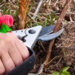 Як і коли правильно обрізати малину навесні для гарного врожаю?