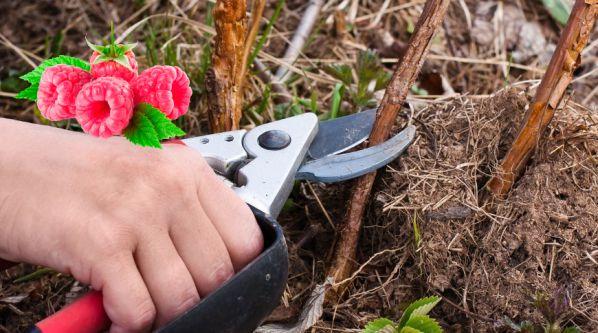 Як і коли правильно обрізати малину навесні?