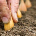 Посадка цибулі сівка навесні: коли і як правильно садити?