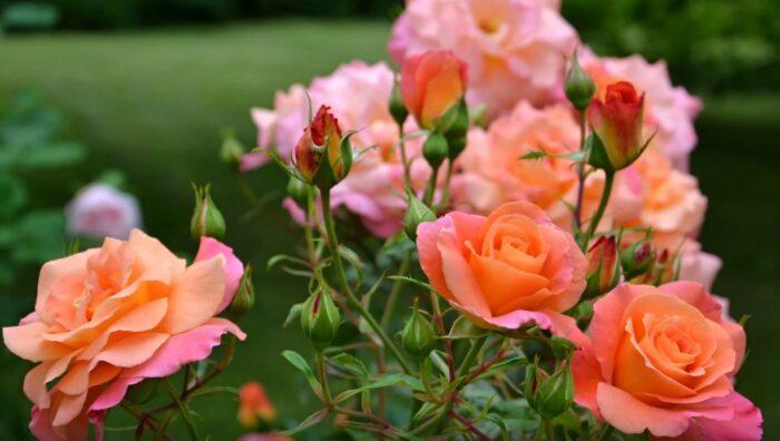 Як і коли правильно обрізати троянди навесні?