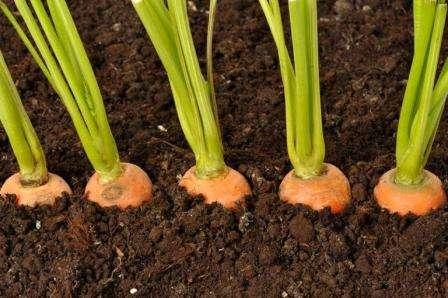 Як краще обробити насіння моркви перед посівом?