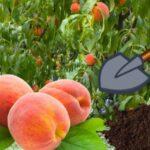 Все про правильну посадку саджанця персика восени і навесні