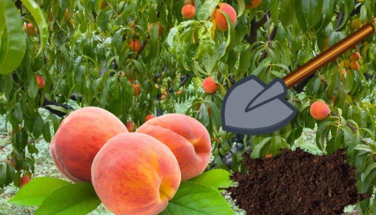 Коли і як правильно посадити персик восени і навесні?