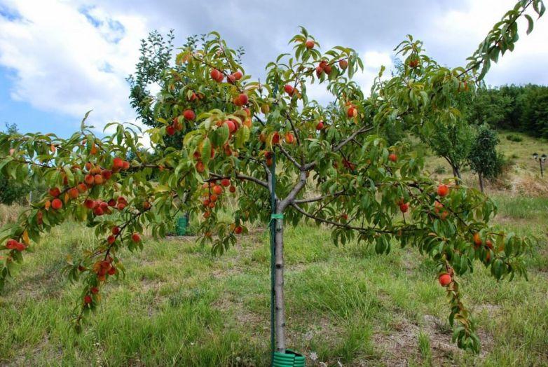 Вибір місця в саду для персика