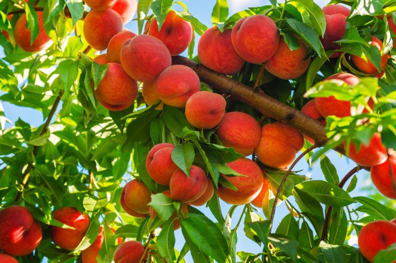 Коли краще садити персик - навесні чи восени?