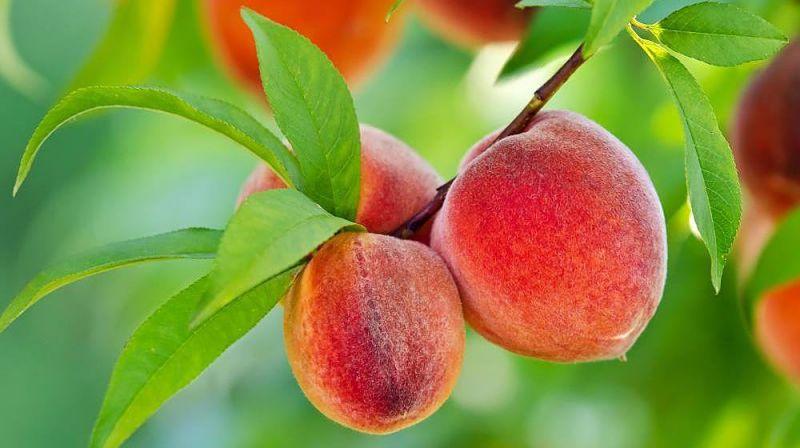 Як правильно посадити саджанець персика?
