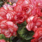 Розсада бегонії вічноквітучої: коли і як садити, як доглядати, пікірувати?