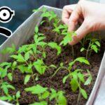 Чорна ніжка у розсади помідорів: симптоми, профілактика, лікування
