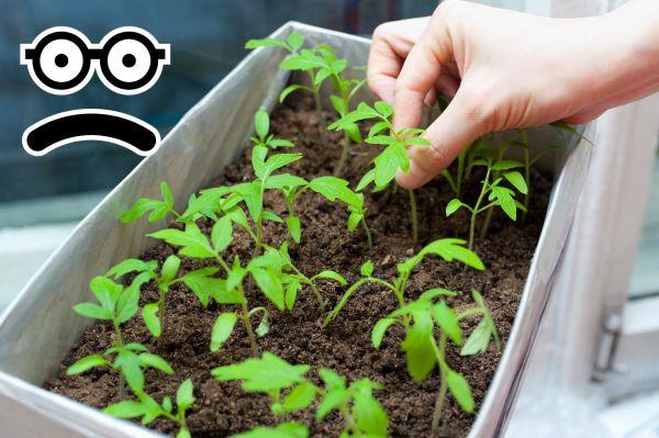 Чорна ніжка у розсади помідорів