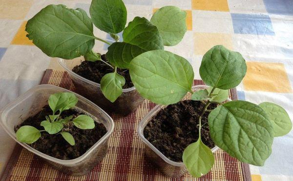 Чим підгодувати розсаду баклажанів?