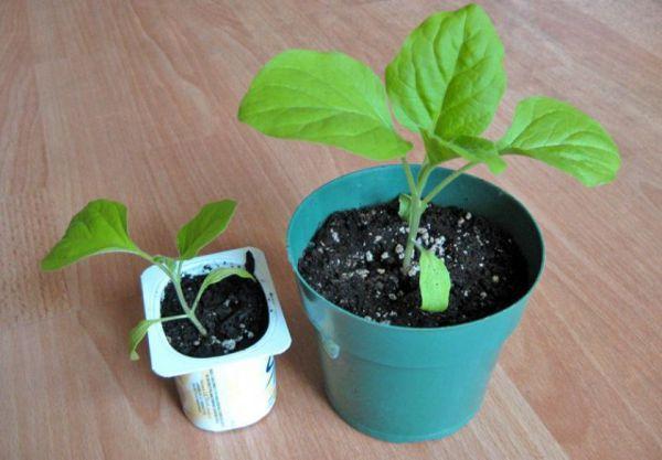 Коли потрібно підгодовувати розсаду баклажанів?