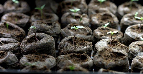 Як правильного посадити перець на розсаду в торф'яні таблетки