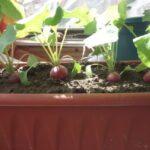 Як виростити смачний редис взимку в домашніх умовах?