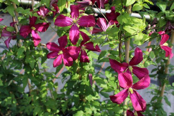 Як виростити клематиси з насіння?