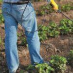 Весняна обробка полуниці від хвороб і шкідників: чим, як і коли обприскувати?